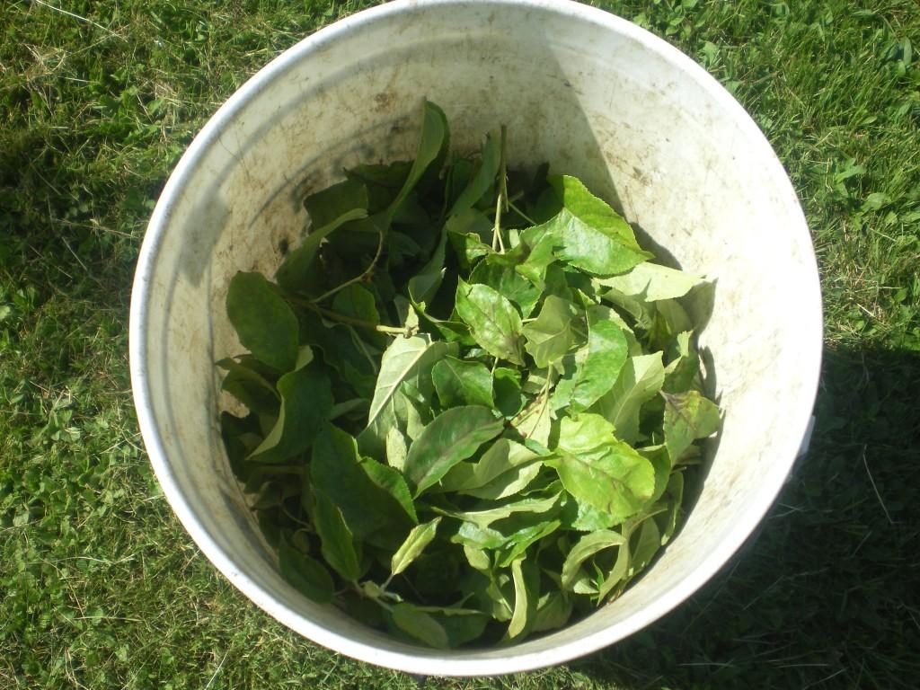 Ne pas mettre les feuilles tavelées sur le sol, mais les sortir, du verger.