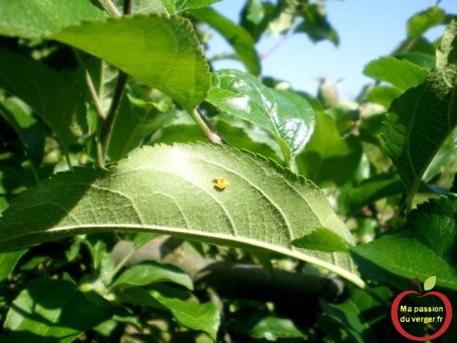 En attendant les premières larves de coccinelles, suite aux premières ponte d'oeufs de coccinelles, sur les feuilles.