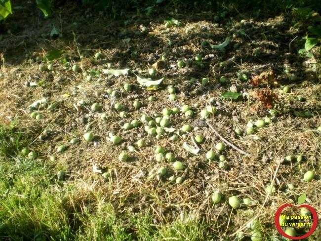 Que les arbres trop chargés en fruits, il faut en enlever, pour garantir des grosses pommes, sans alternance de l'arbre.
