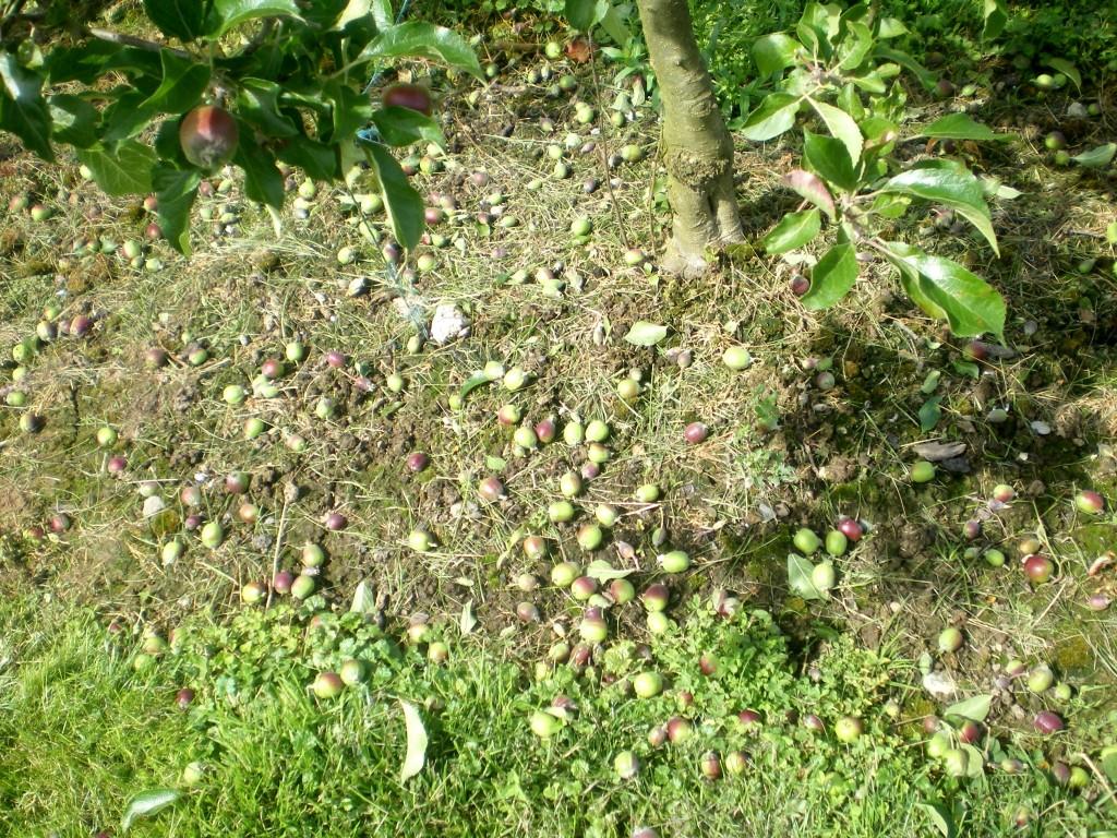 Nombre de pommes enlevées après l'éclaircissage