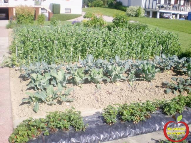Après la récolte des choux raves, je repique des choux rouges. repique les légumes-