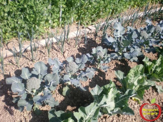 quand récolter le brocolis - quand récolter le choux fleur- planter du poireau