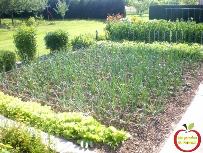 quand planter les oignons bio au potager- comment planter les oignons au potager- oignons pas cher-