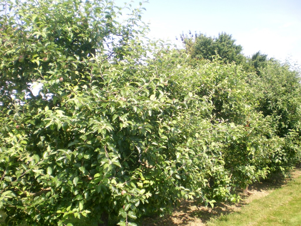 Haie fruitière pommiers, avant la taille en vert