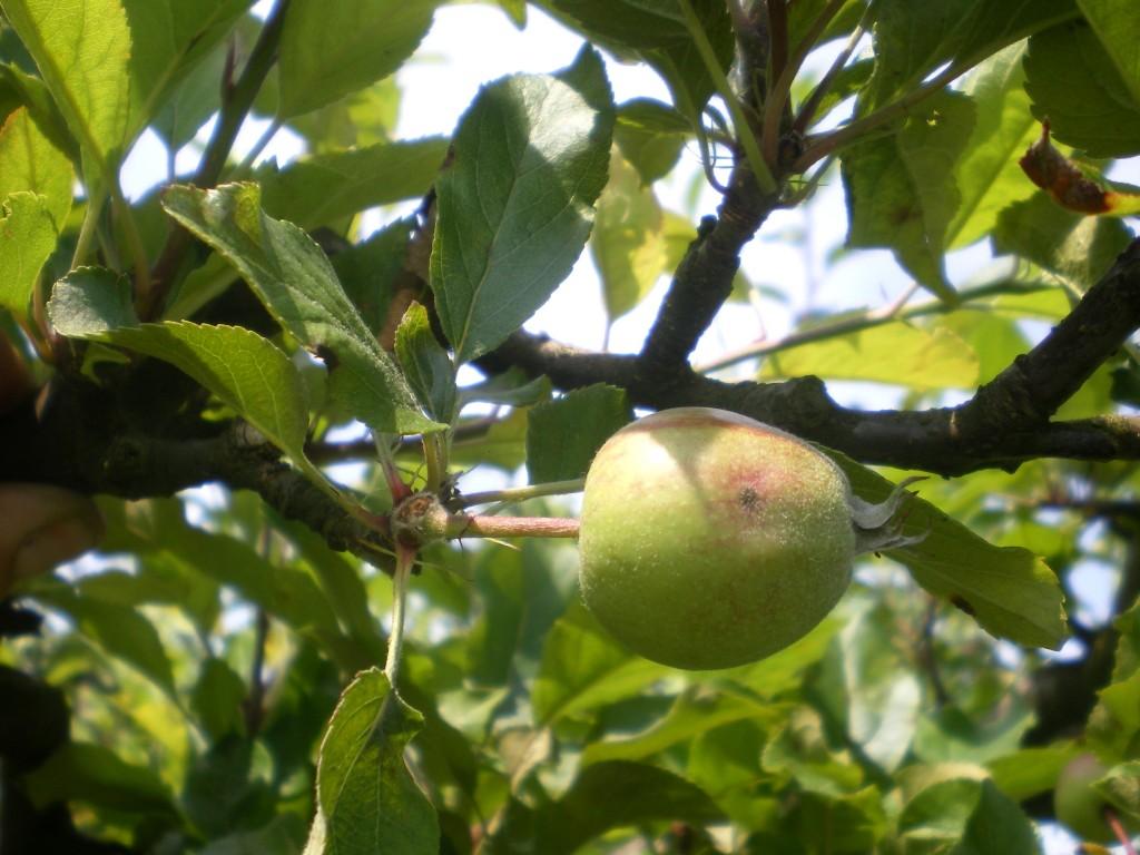 Pomme avec une petite tache de tavelure