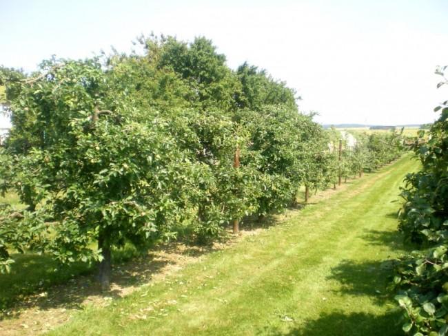 Haie fruitière pommiers, après la taille en vert