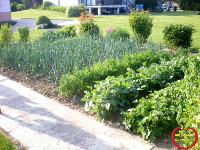 le potager avant la récolte- quand récolter les légumes du jardin potager bio. légumes rustiques anciens
