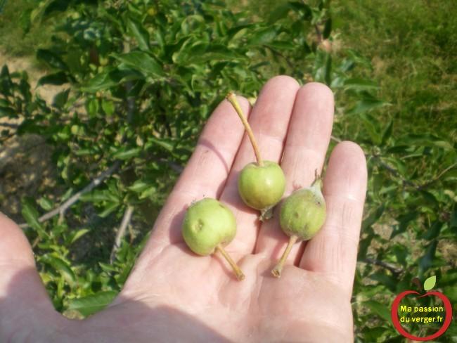 Attendez la chute physiologique la chute physiologique, c'est-à-dire que l'arbre se débarrasse déjà naturellement de fruits en surnombre.