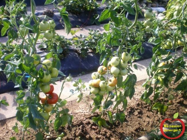 enlever les feuilles des tomates- enlever les gourmand des tomates