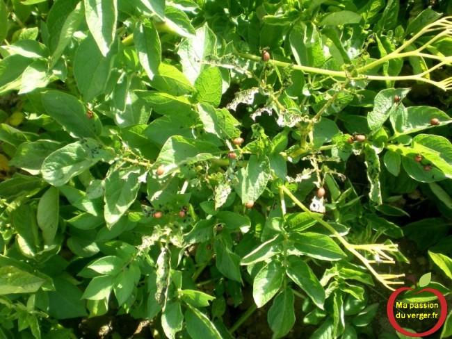 larves de doryphores sur les pommes de terre
