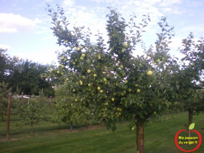 Les premières pommes du verger « la transparente blanche » à récolter début de mois d'août.