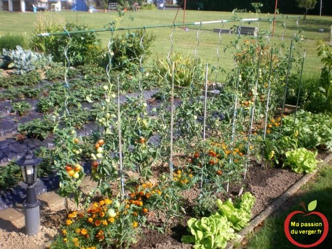 belle récolte de tomates au potager-comment traiter les tomates- tomates pas cher-