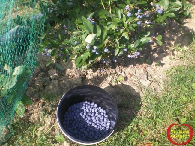 C'est aussi le moment de la récolte des myrtilles.