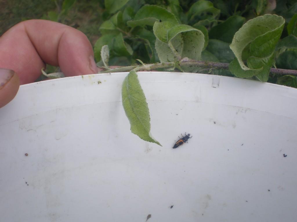 Encore une larve a installer sur le pommier