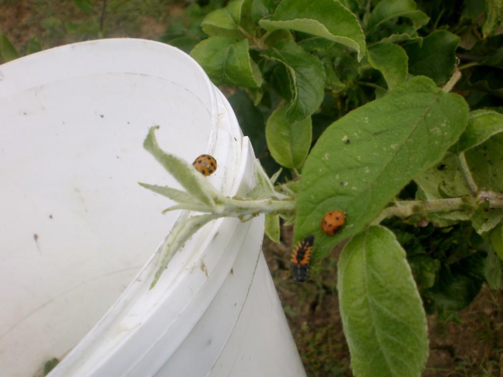 Installation des larves et des coccinelles, sur un pommier envahi de pucerons