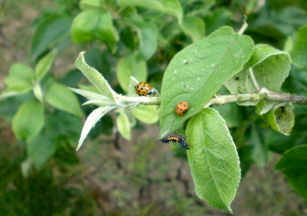 Installation d'une vingtaine de larves et de coccinelles, sur un pommier envahi de pucerons