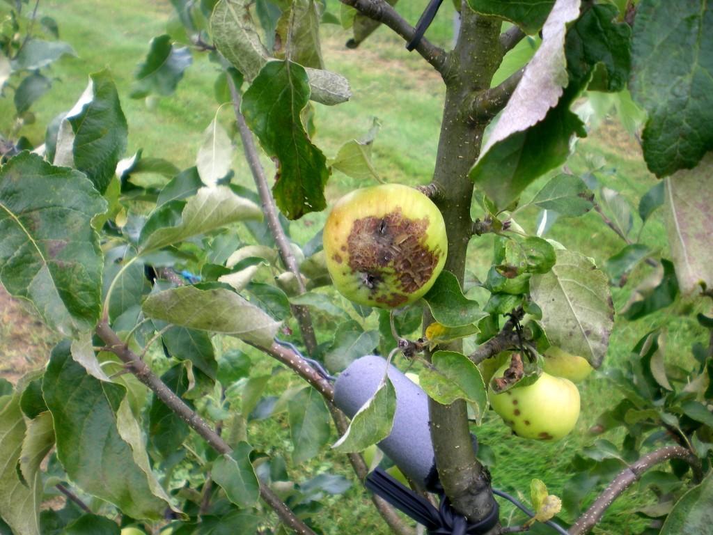 Mais attention ne marche pas sur toutes les variétés de pomme. Voir le résultat sur Cybèle