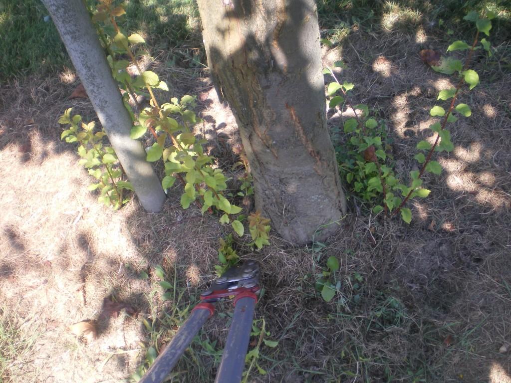 Il faut aussi couper les rejets et les drageons 2 à 3 fois par an, au pieds des arbres.