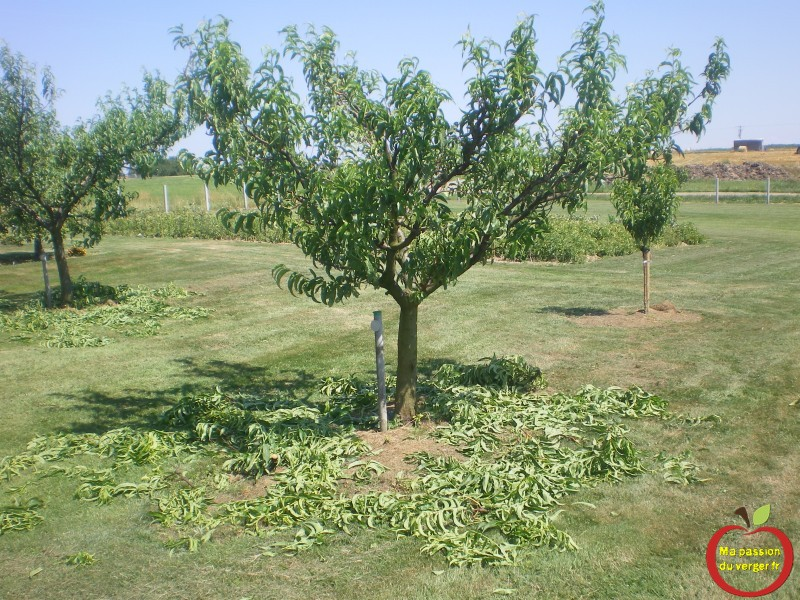Advise Achat d arbres fruitiers adultes commit error