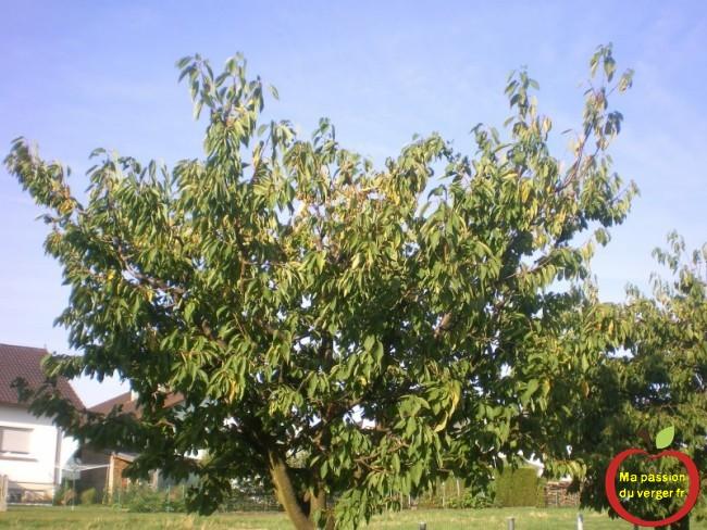 Cerisier cette année, avec les aléas climatiques et les pieds dans l'eau.