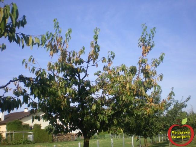 Feuilles malades, sur cerisiers