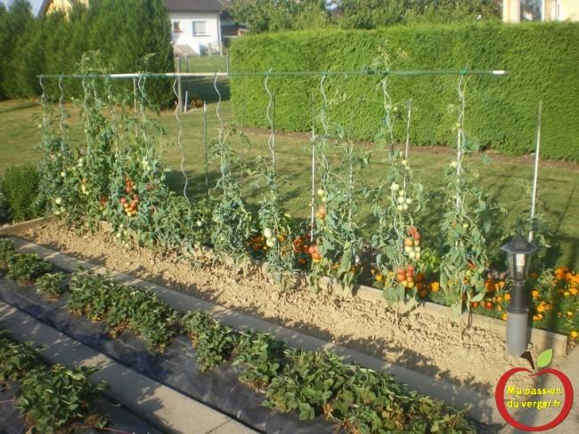 première tomate- éviter le mildiou au tomates- tomates sans maladies- quand récolter les tomates-