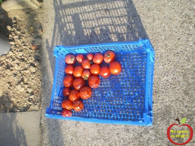 les premières tomates du jardin- quand cueillir les tomates bio du jardin-