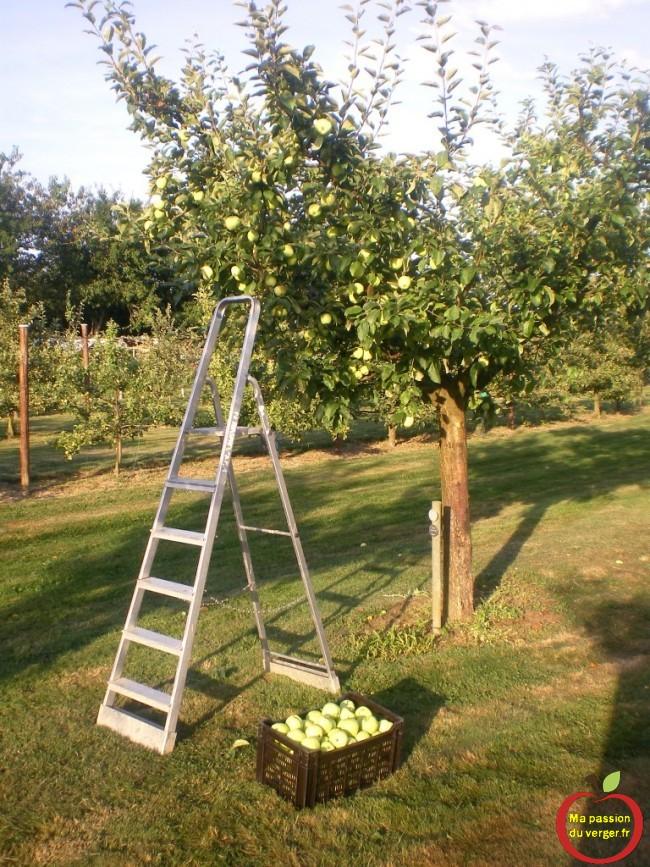 Première récolte de pommes le 06.08.2013. Pour faire une bonne compote avec des galettes de pommes de terre nouvelles. Un vrai délice.