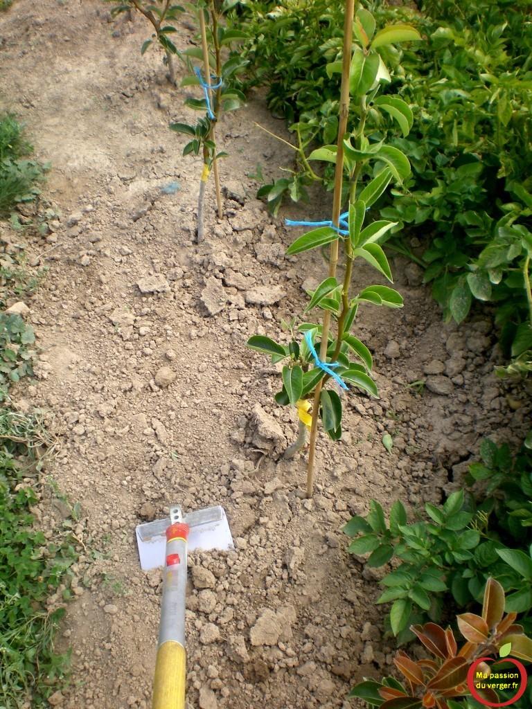 un bon binage vaut deux arrosages, pour les jeunes arbres fruitiers greffes