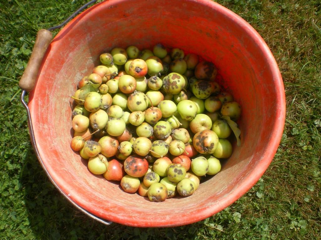 Enlever les petites pommes ou avec des tâches de tavelure pour favoriser les autres.