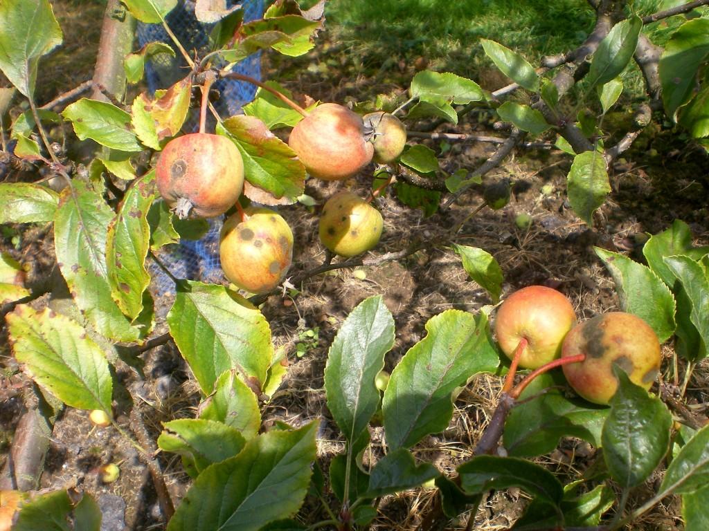 Tavelure sur pomme Gala.