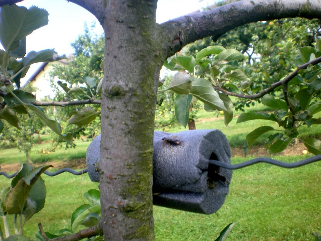 Il y a 6 forficules dans ce nid, après une semaine.
