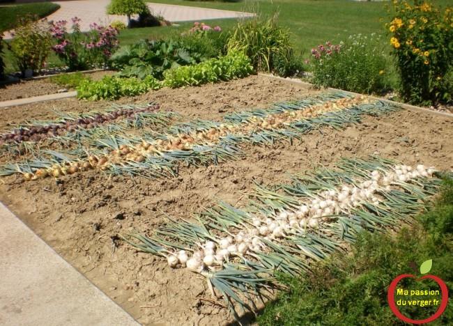 belle récolte d'oignons bio- comment récolter les oignons- faire sécher les oignons- regrevudnoissapamegres