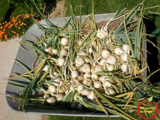 la récolte des oignons bio- renter les oignons pour l'hiver- comment stocker les oignos
