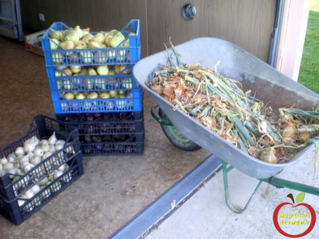 Sécher les oignons pour l'hiver-  il suffit de laisser quelques semaines dans un endroit bien ventilé.