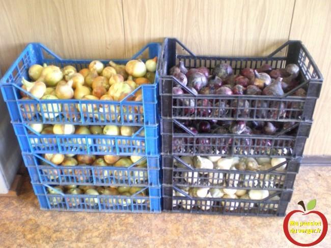 belle récolte d'oignons pour une année- oignons pas cher- où garder les oignons  pour l'hiver.