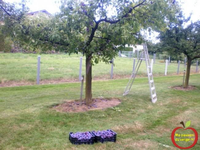 Quand récolter les quetsches et les prunes. Dès que les premiers fruits tombent, c'est le moment d'aller tester la maturité des fruits