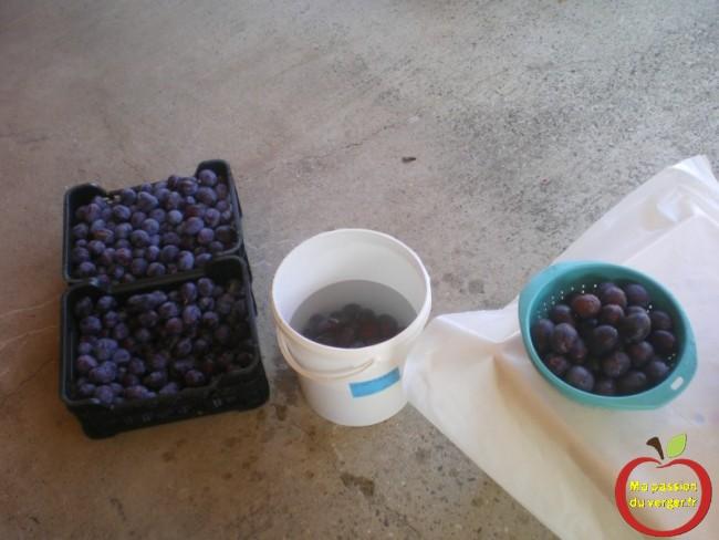 Lavage des prunes ou des quetsche pour la transformation en jus.