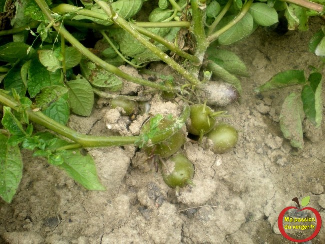 Les pommes de terre verte, germées sont-elles dangereuses