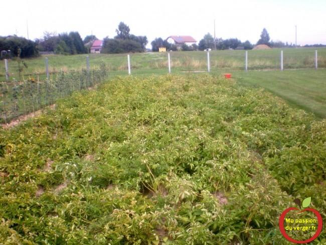 potager avec pommes de terre, avant la récolte