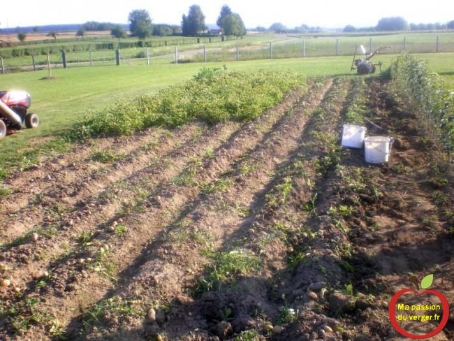arrachage des tiges et feuilles de pomme de terre