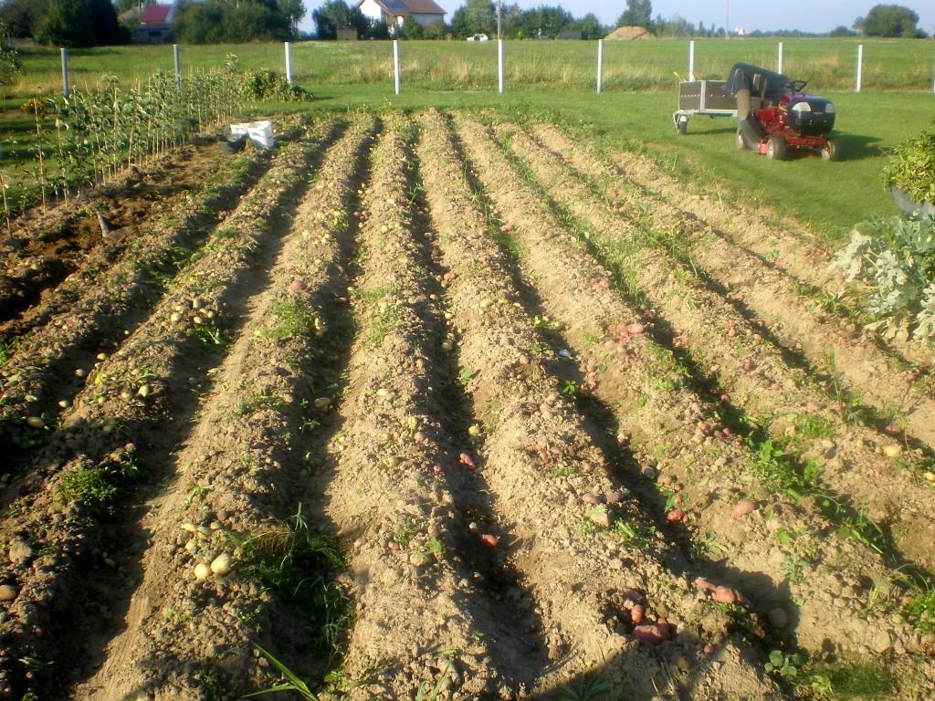 résultat après l'arrachage des tiges et feuilles de pomme de terre