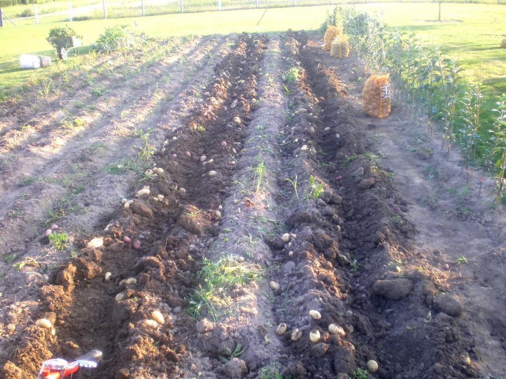 Passage avec l'arracheuse de pomme de terre, une rangée sur deux