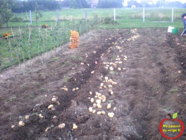 reste plus qua rammasser les pommes de terre
