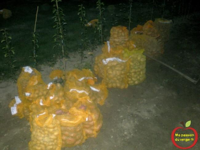 récolte pomme de terre
