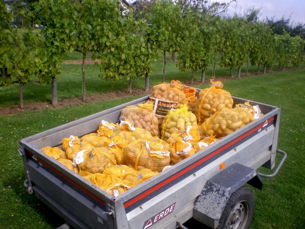 pesage et stockage des pommes de terre dans l'ancienne cave, bien fraiche.
