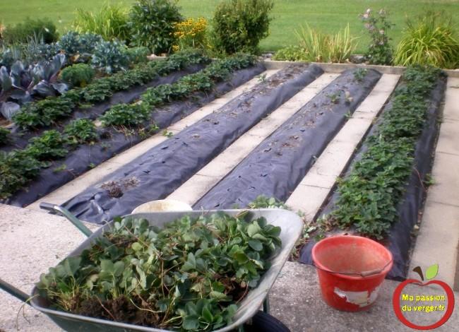 renouveler fraisiers sur bâche ou film noir.