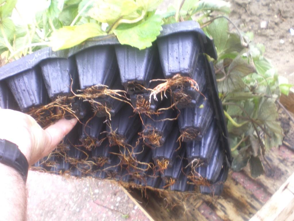 fraisier en godets, pour plantation sur bache en aout