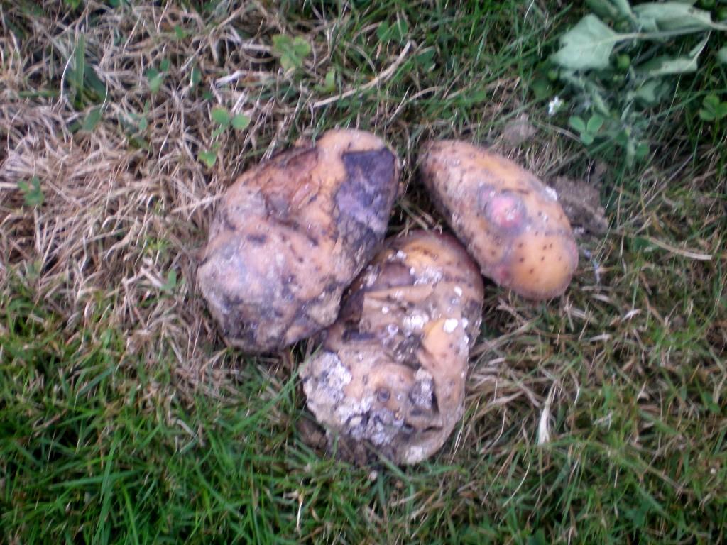 Qu'une dizaine de pommes de terre pourries.