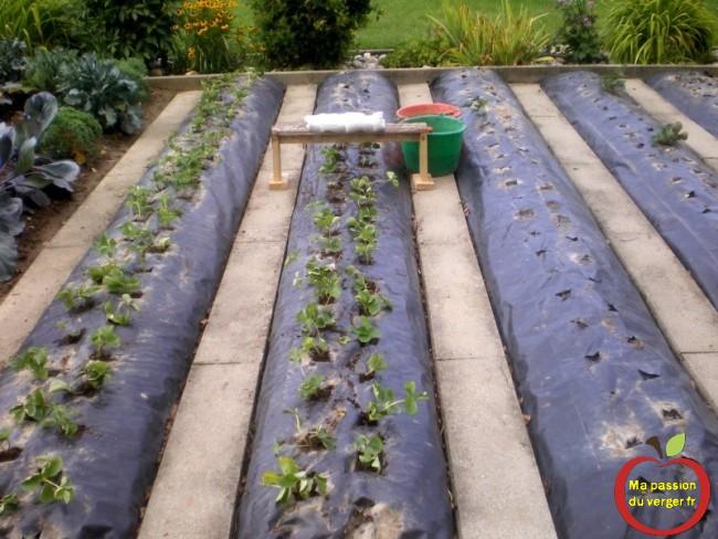 renouvellement d'une plantation de fraises sur bache et nylon.